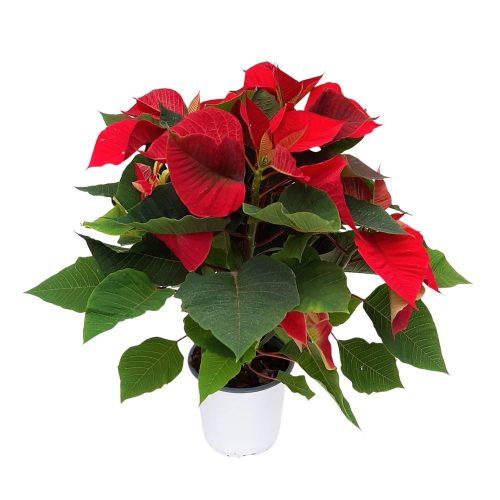 Euphorbia - Steaua de Crăciun Grecia