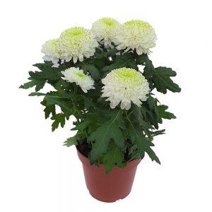 Crizantema Zembla Mare