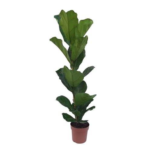 Ficus Lyrata D 21