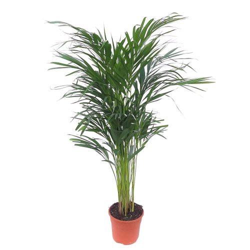 Chrysalidocarpus - Areca D 17