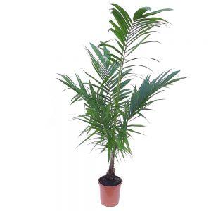 Tico Palm - Palmier