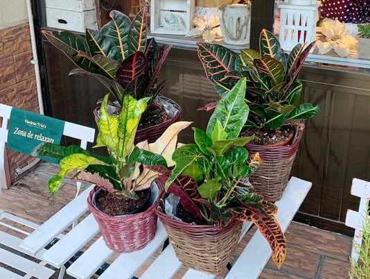 Crotonul -Sfaturi de la Floraria Trias