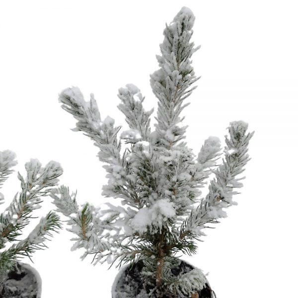 Picea glauca conica cu zapada