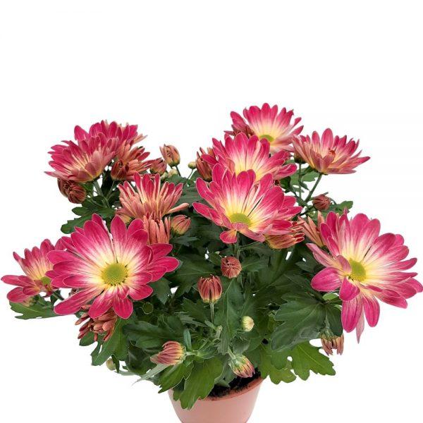 Crizantema Anastasia Madiba
