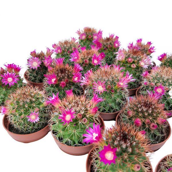 Cactus Mini Mamilaria