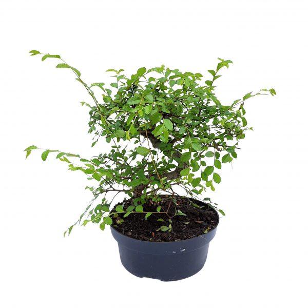 Bonsai ghiveci D 22