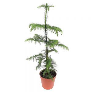 Araucaria Heterophylla D 17