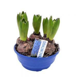 Platou Zambile -Hyacinthus