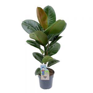 Ficus Robusta D17