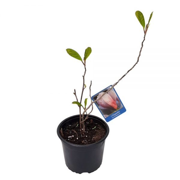 Magnolia soulangeana mica Productie Romania