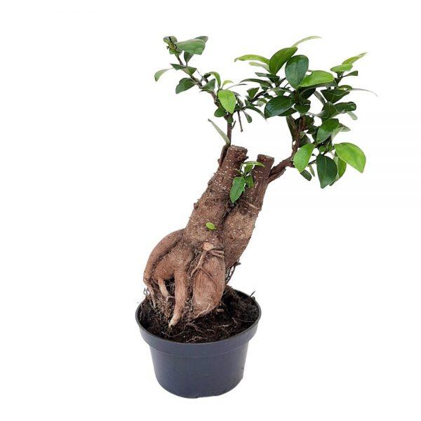 Bonsai Ficus Ginseng in ghiveci de plastic