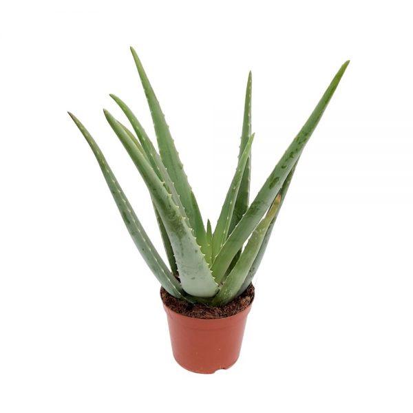 Aloe vera D 14