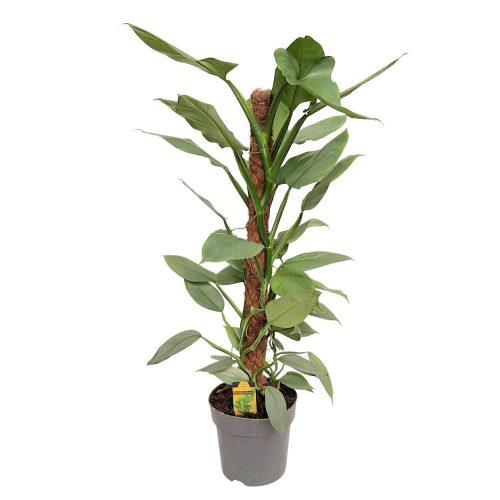 Philodendron Silver Queen pe mostok