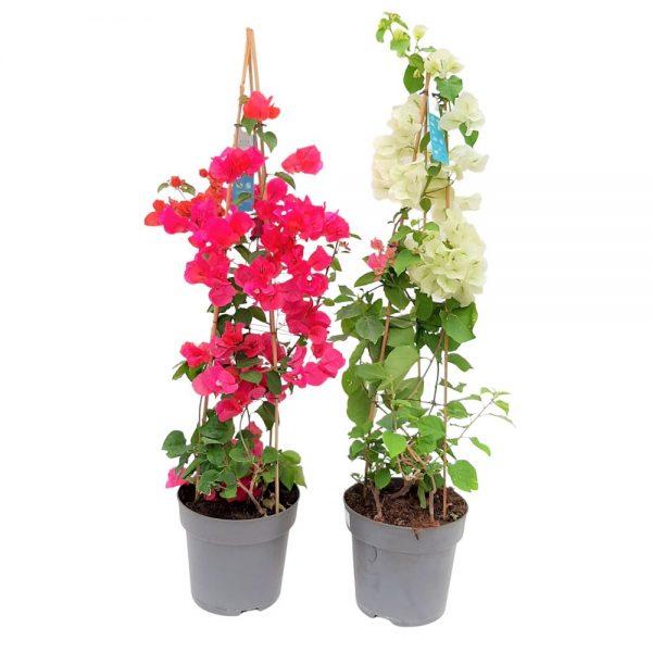 Bougainvillea Dania -Floare de hartie D 21