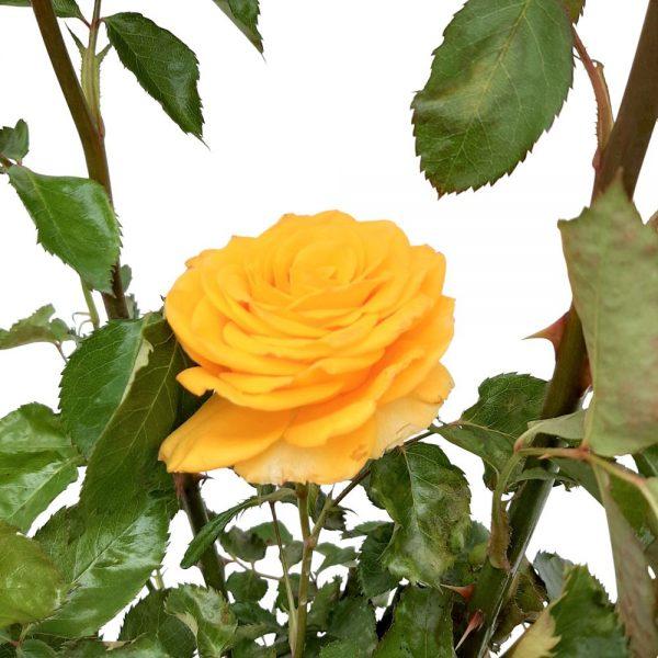 Rosa Garden Grecia