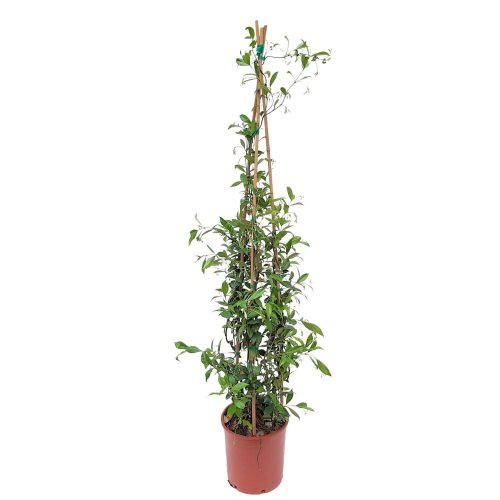 Trachelospermum -Iasomie Grecia