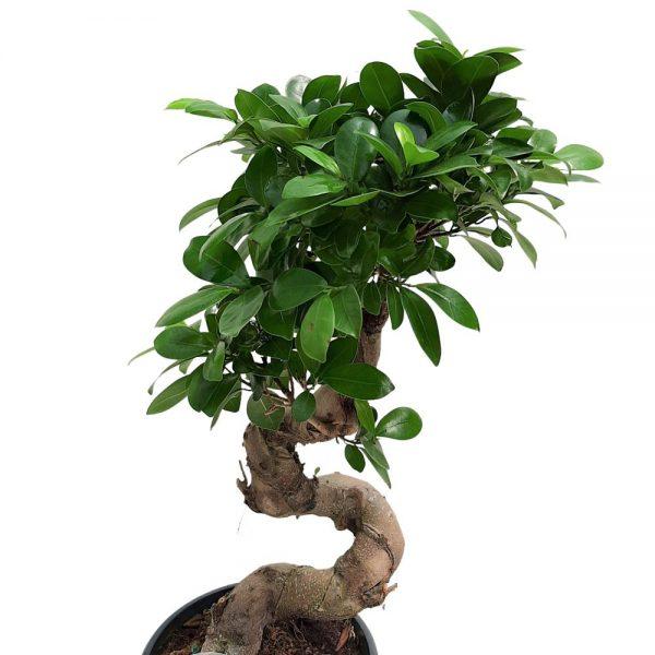 Bonsai Ficus Ginseng D 23