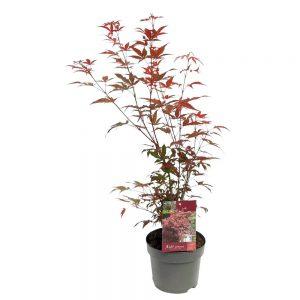 Acer palmatum arbust Extra