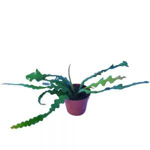 Epiphyllum Anguliger Hibird