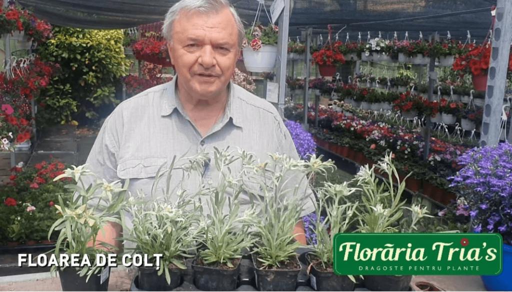 florarea de colt leontopodium 3