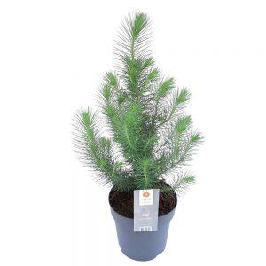 Pinus Pinea mare